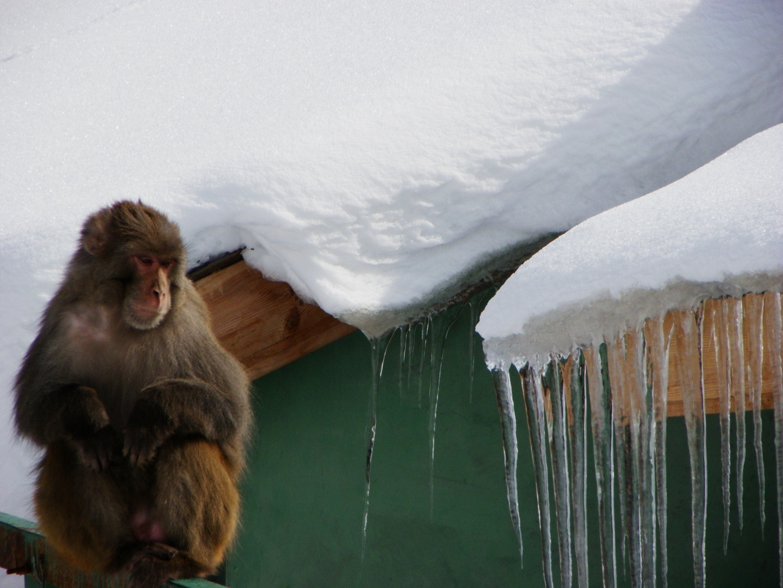 un singe en hiver ! kashmir