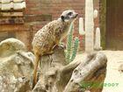 un suricate.