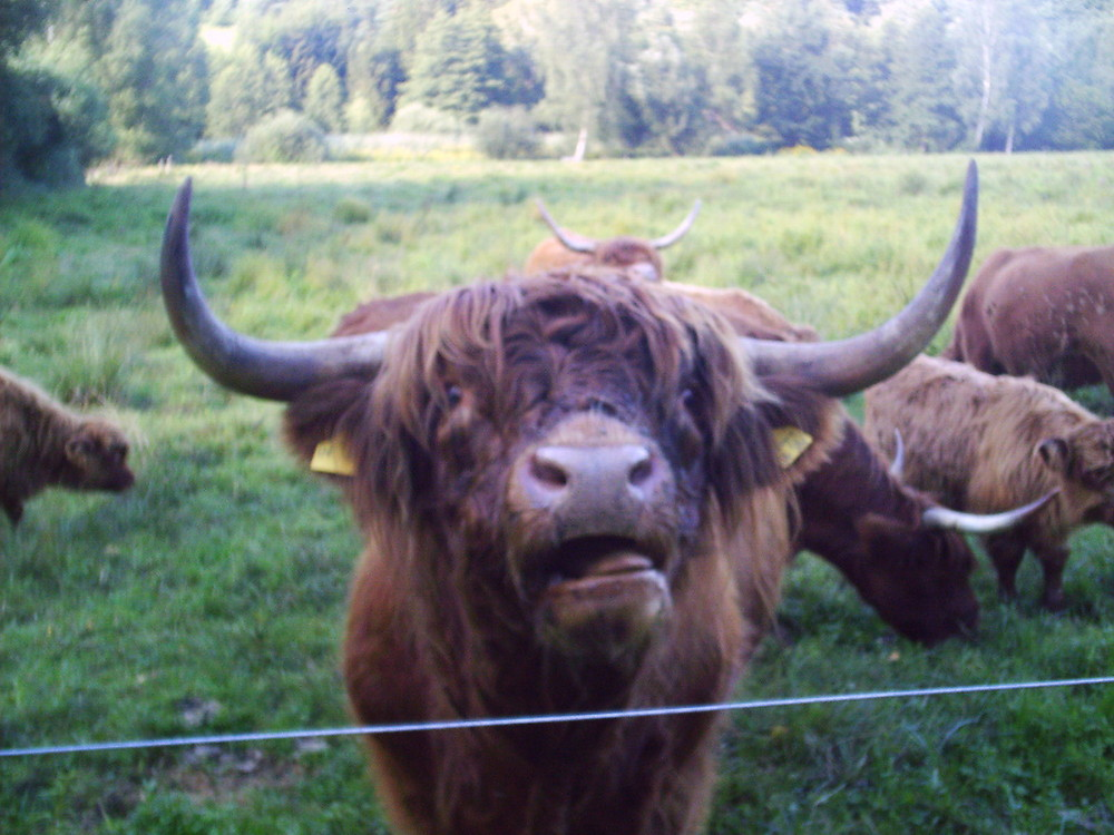 un taureau highland