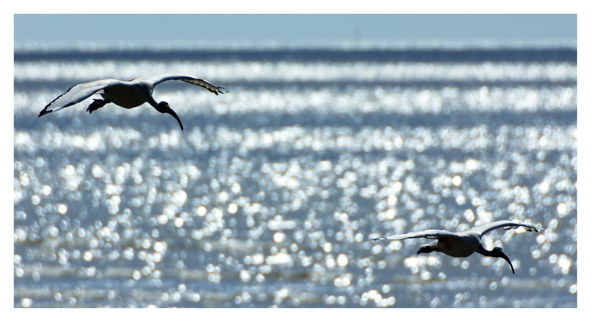 un vol d'ibis.