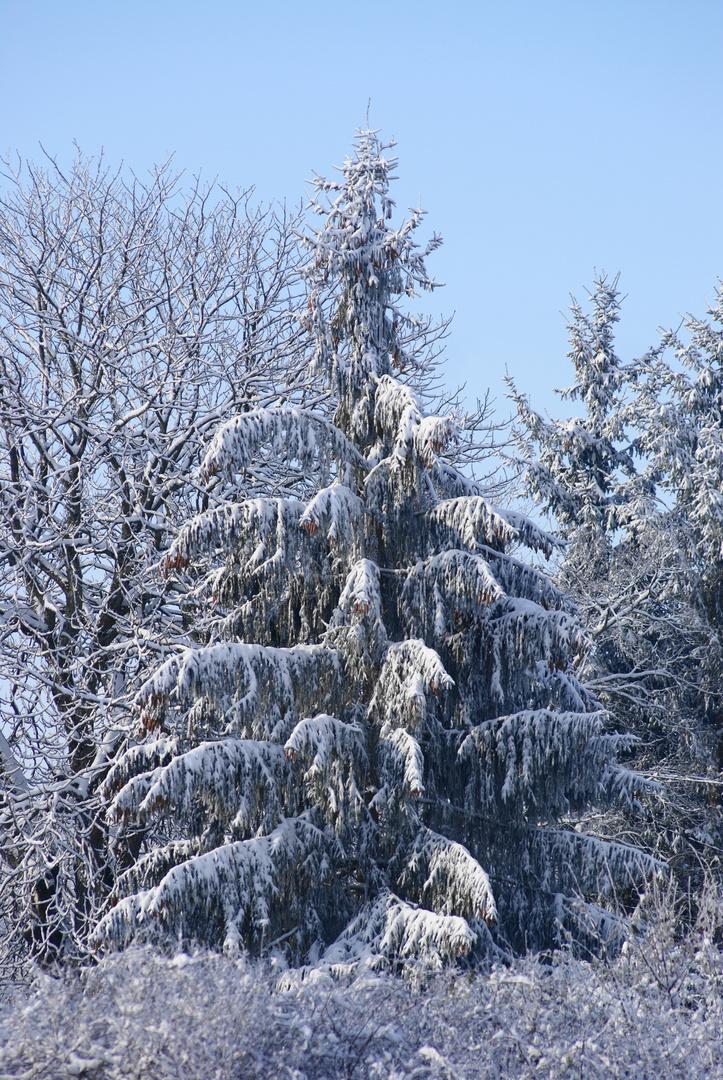 Un vrai sapin d'hiver