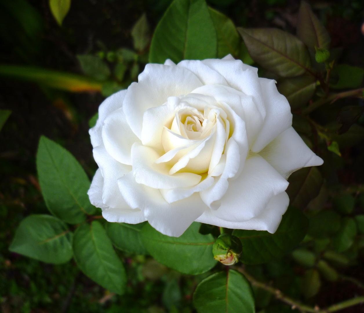 una bella rosa blanca imagen foto plantas flores naturaleza fotos de fotocommunity. Black Bedroom Furniture Sets. Home Design Ideas