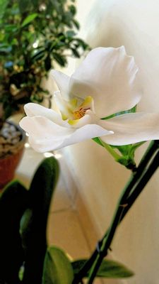 ...una candida orchidea...