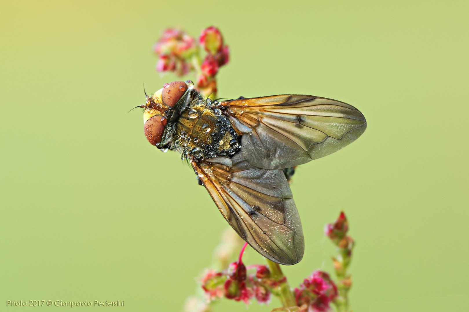 """Una delle """"mosche """" più belle"""