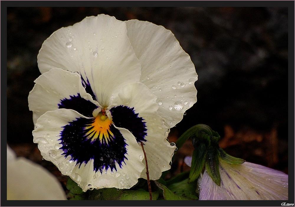 una farfalla dipinta sulla viola