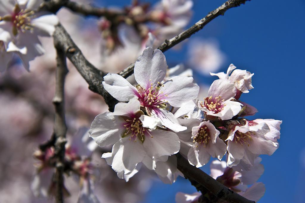 Una flor de Almendro para las Lolas.