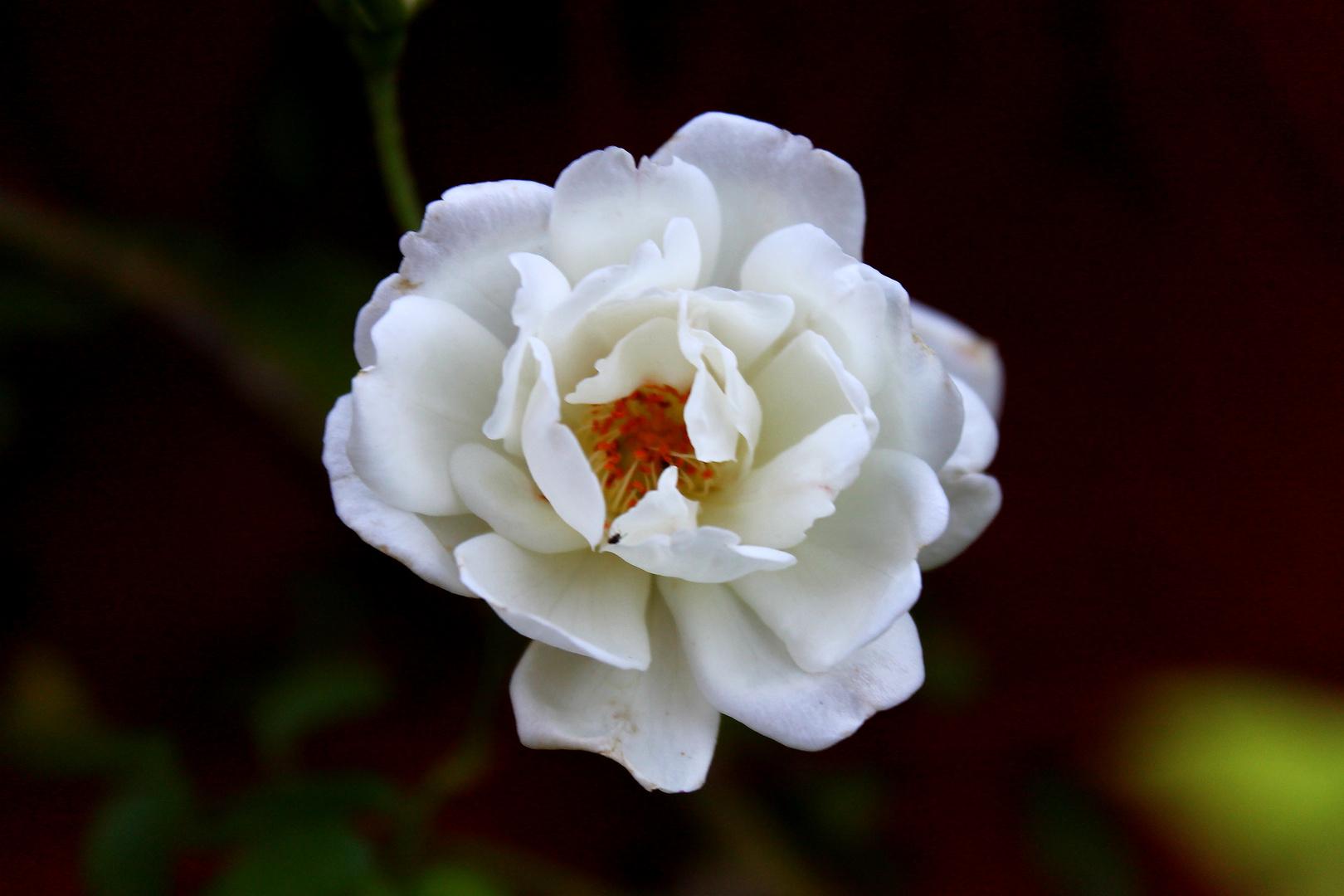 Una pequeña rosa blanca