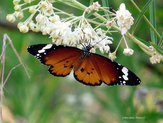 Una rara farfalla