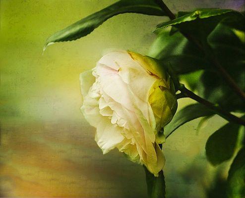 ..Una rosa
