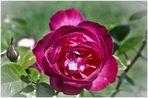 Una rosa....