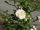 Una rosa bianca