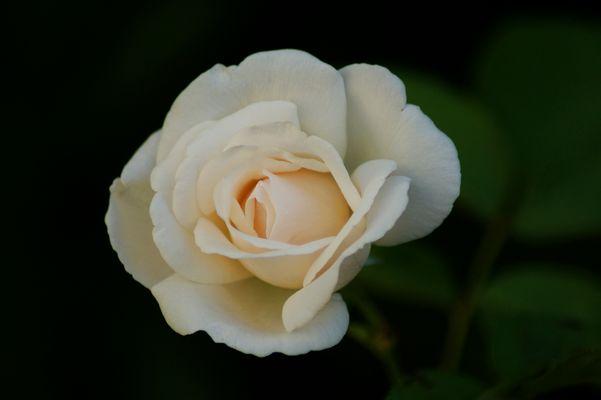...una rosa blanca...