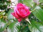 Una rosa dal mare.