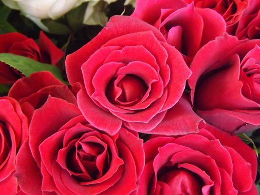 una rosa hermosa