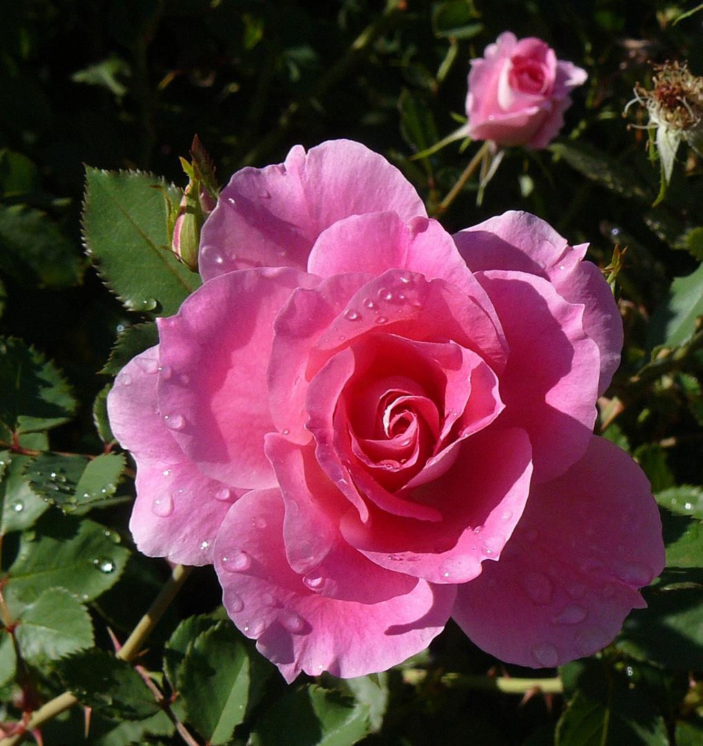 una rosa mas...
