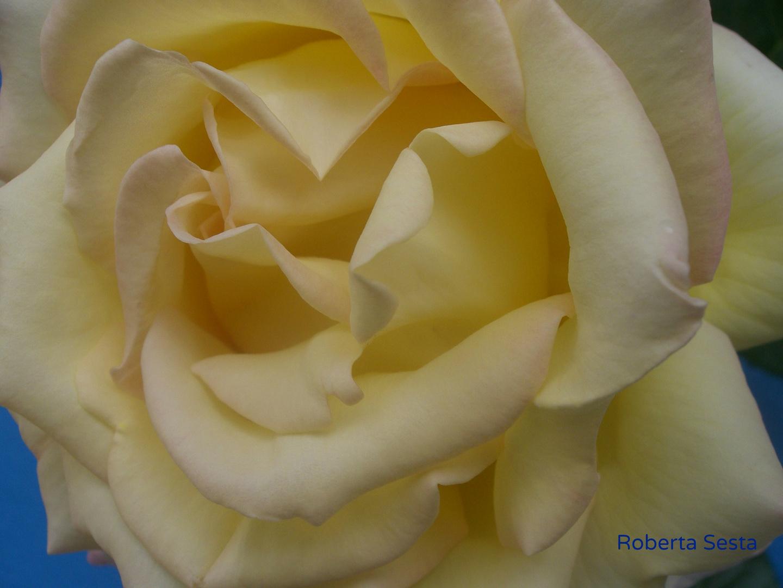 Una rosa speciale (2)