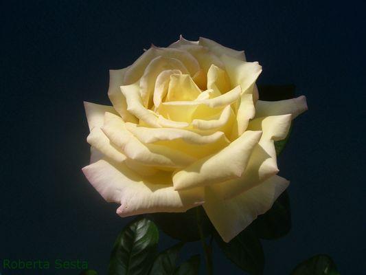 Una rosa speciale