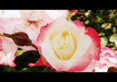 Una rosa un pensiero