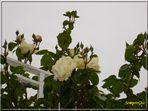 Una rosa x Te