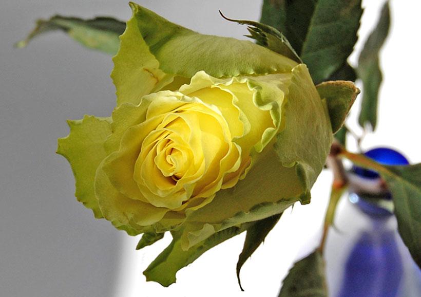 Una rosa....gialla