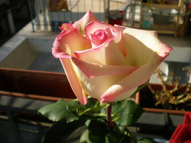 una rosa...un regalo