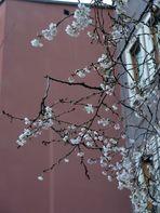 un'albero fiorito, oggi