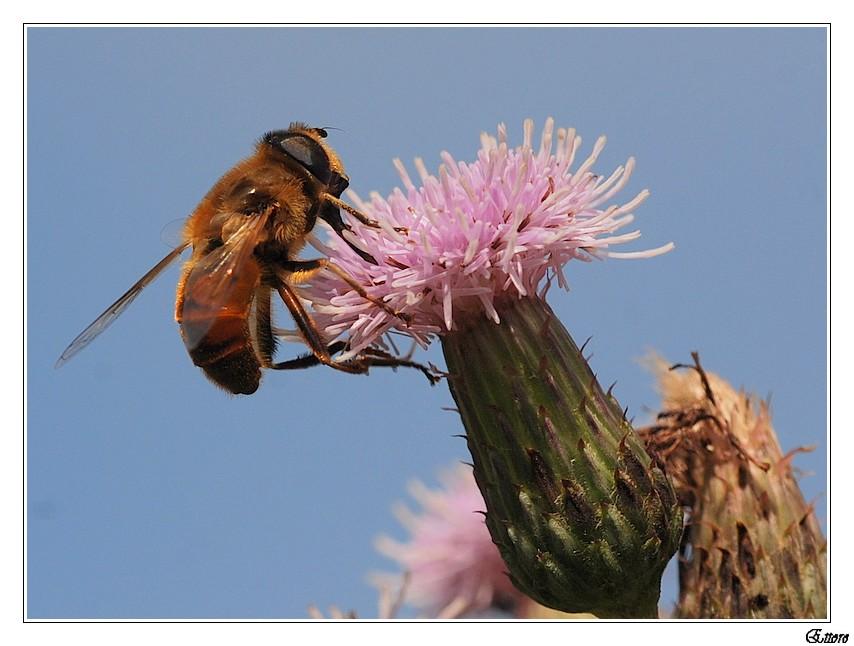 Un'ape,un fiore di cardo.....