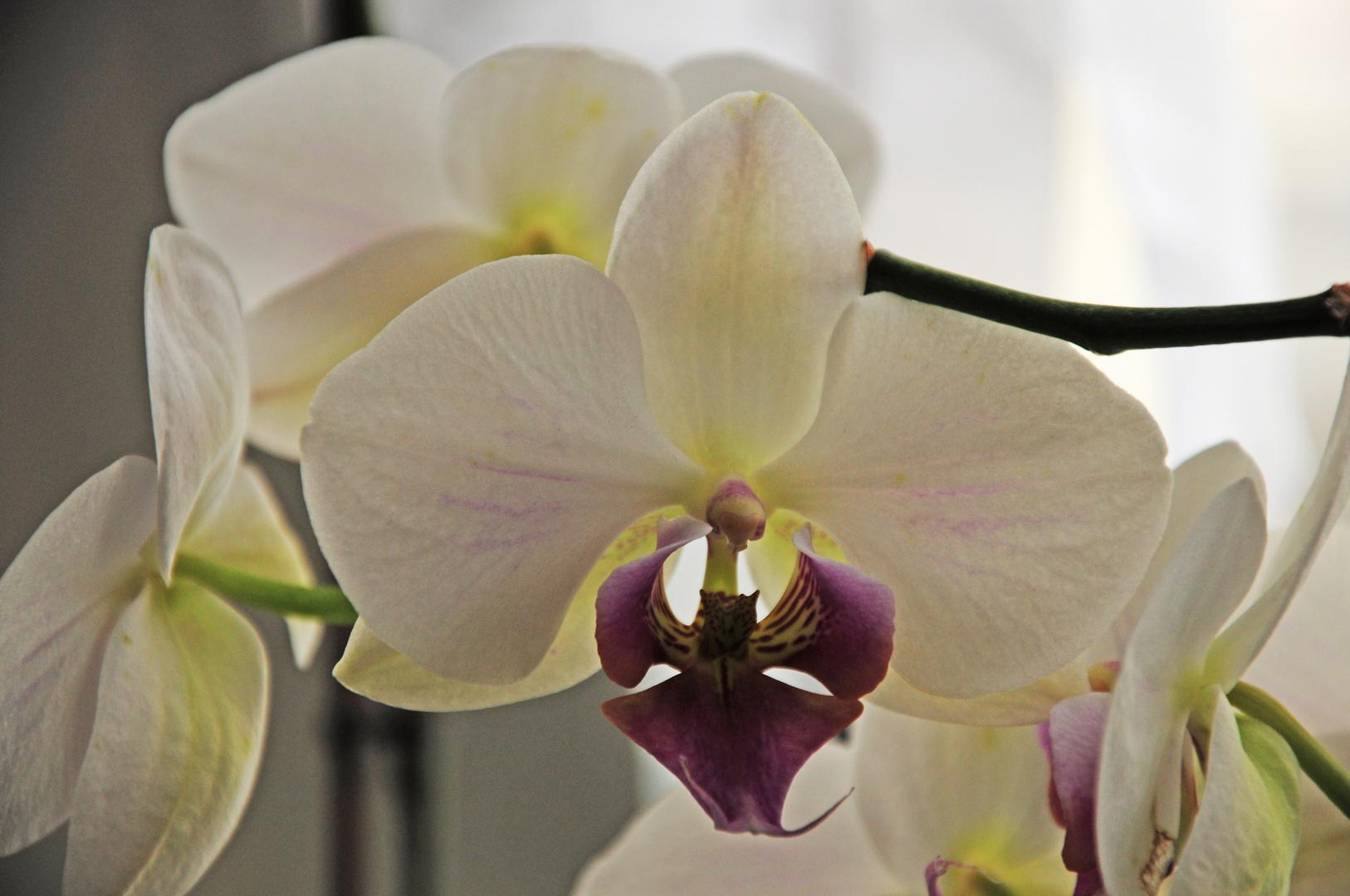 """Unaussprechlich """"Phalaenopsis"""""""