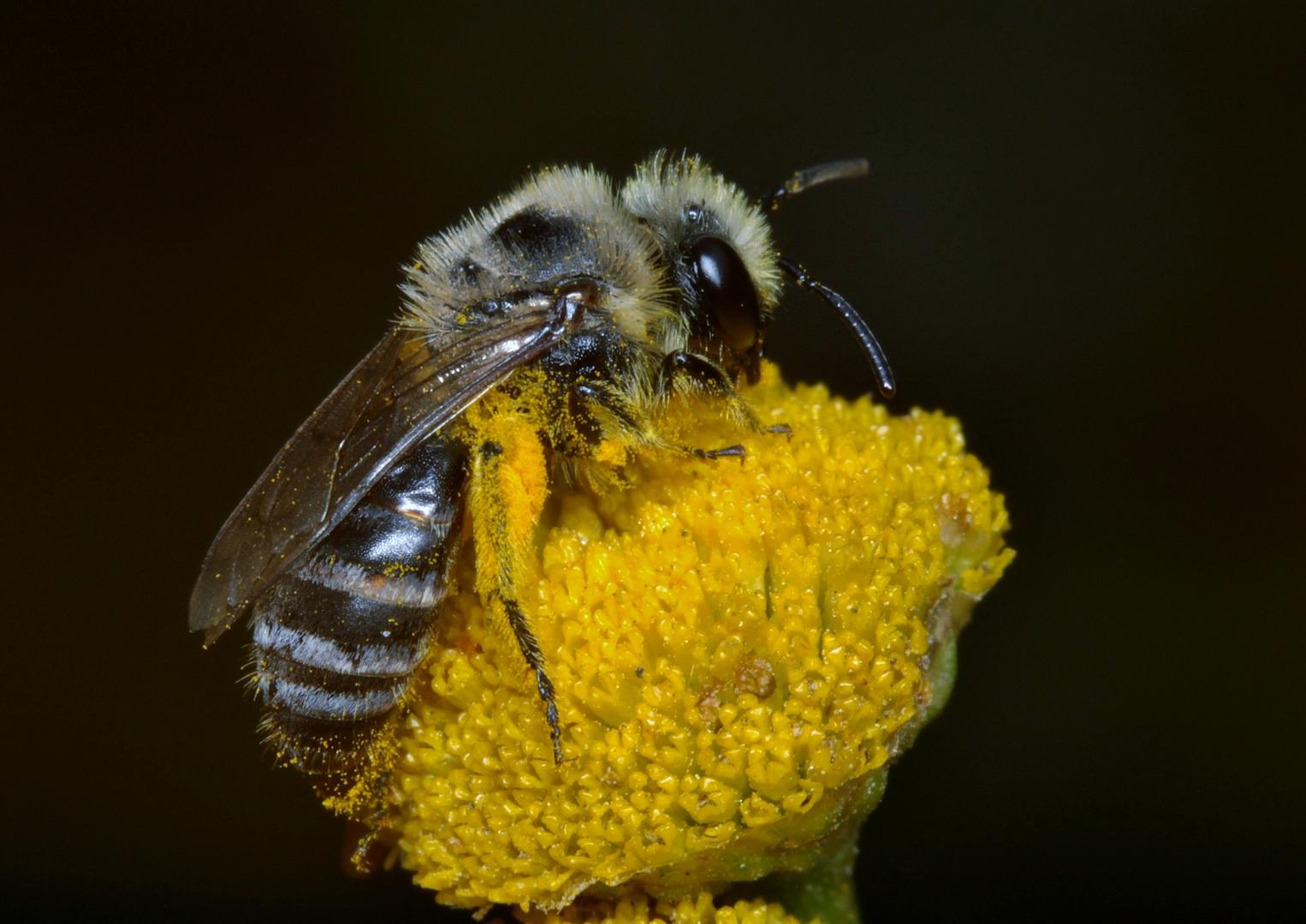 Unbekannte Biene