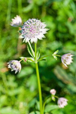 Unbekannte Blume am Waldrand über dem Salzachtal nahe Salzburg