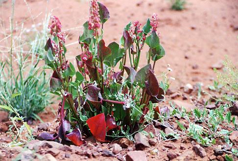 Unbekannte Blume. Diese Blume habe ich an der Tanami Roud in Australien gesehen, Oktober 2001