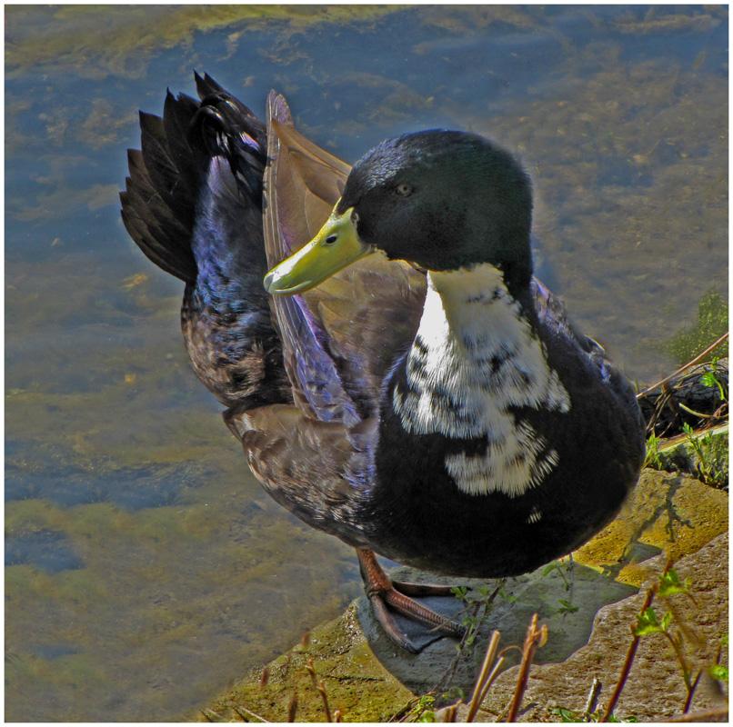 Unbekannte Ente