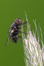 unbekannte Fliege