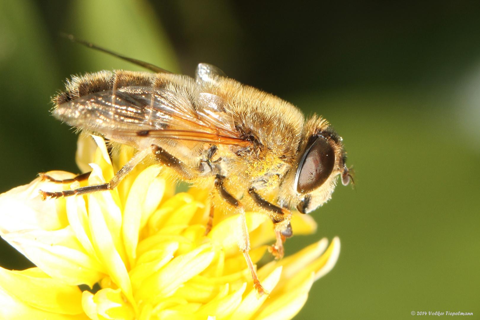 unbekannte Fliege auf Ranunkelblüte