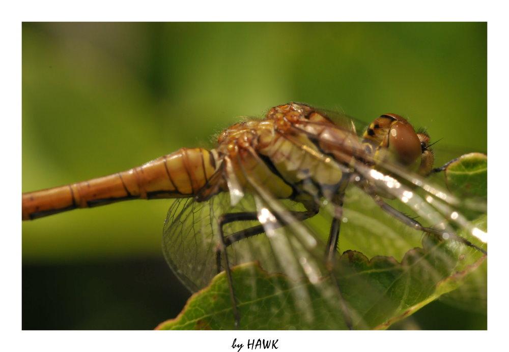Unbekannte Libelle - Close Up