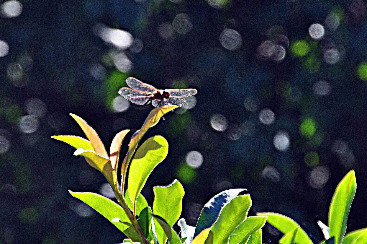 unbekannte Libelle