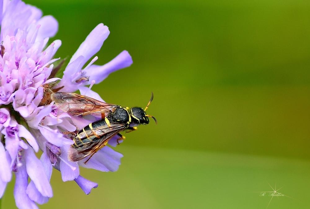 Unbekannte Wespe