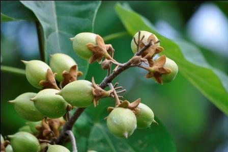 Unbekannter Baum (2) - Früchte