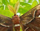 Unbekannter Falter - rund 20cm Flügelspannweite - Sri Lanka