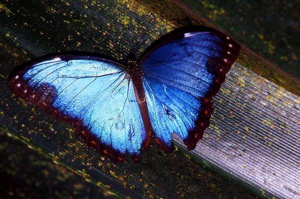 Unbekannter großer blauer Schmetterling