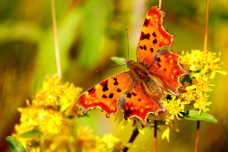 Unbekannter Schmetterling?