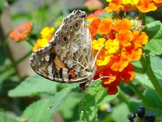 unbekannter Schmetterling auf Blüte