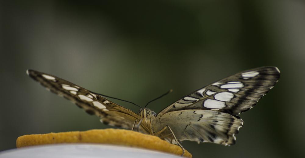Unbekannter Schmetterling Nr.2