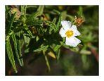 Unbekanntes mediterranes Mittwochsblümchen speziell für Ingeborg
