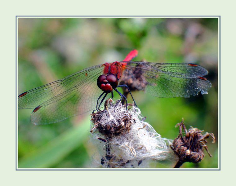 Unbekante Libelle