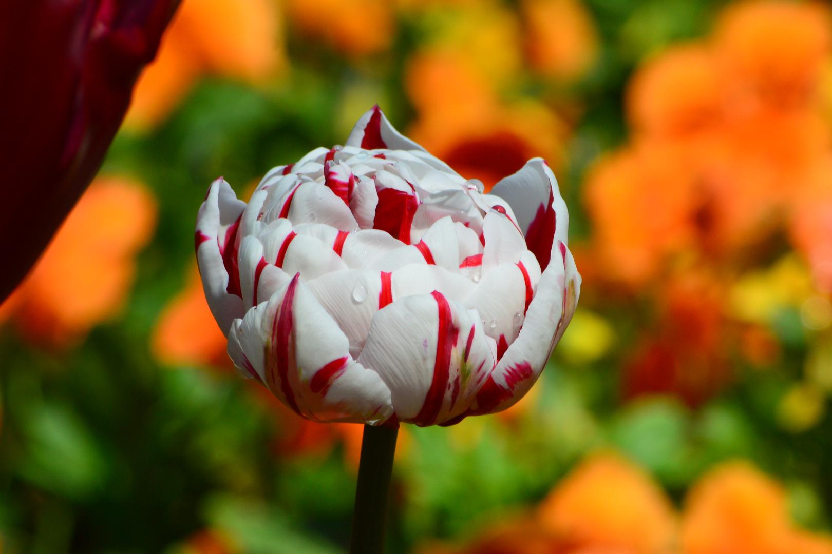 und auch das ist eine schöne Blume