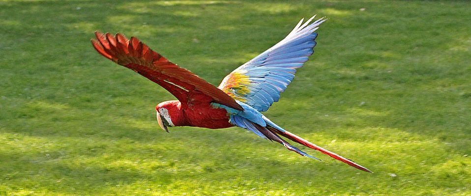 und da fliegt mein liebling ara - der war ganz schön schwer aufzunehmen
