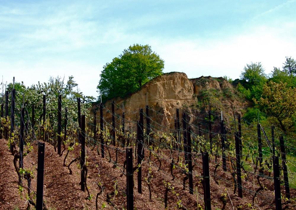 Und da sollen mal Trauben hängen ? °°° Entlang der Sächsischen Weinstrasse