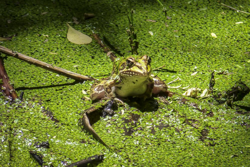 Und der Frosch, der hat Zähne Foto & Bild | tiere