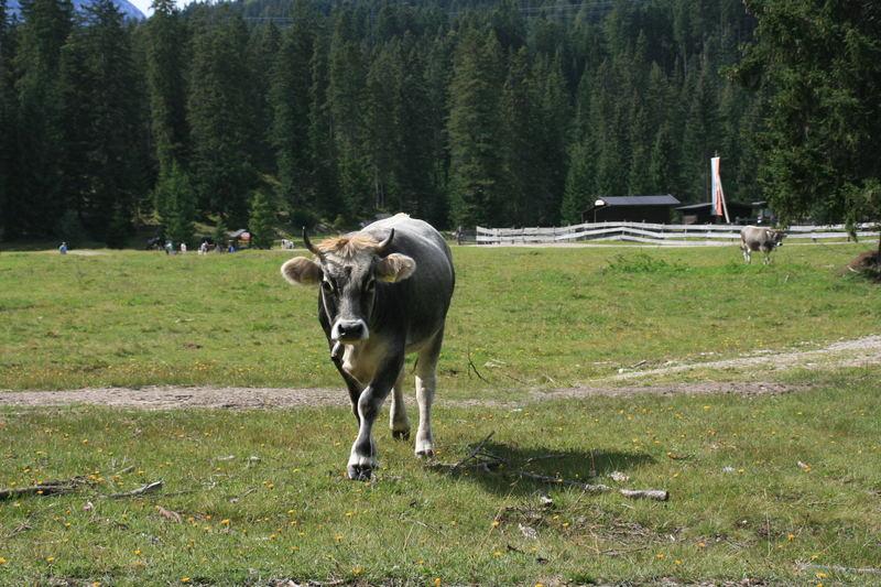 """Und die Kuh macht """"Muh"""""""